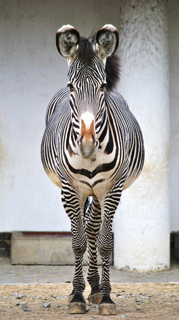 Grevyzebra (Equus grevyi) 2