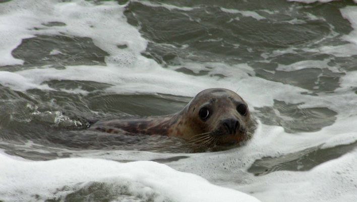 Grey Seal Puppy