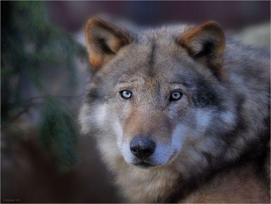 Grey wolf (2) ..