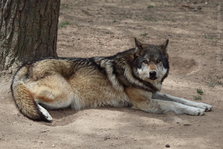 ... Grey Wolf...