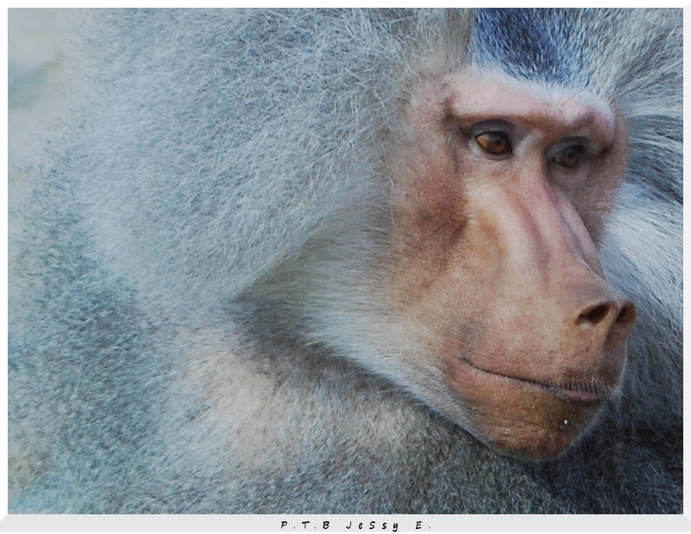 Grey_Ape