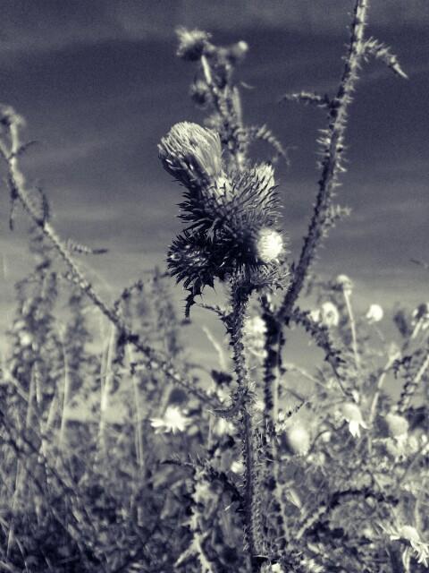 Greyplant