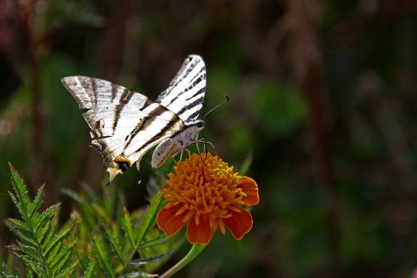 Griechenland Schmetterling