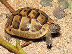 griechische Landschildkröte zu Beuch