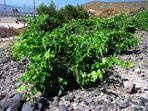 Griechischer Wein (2) ...
