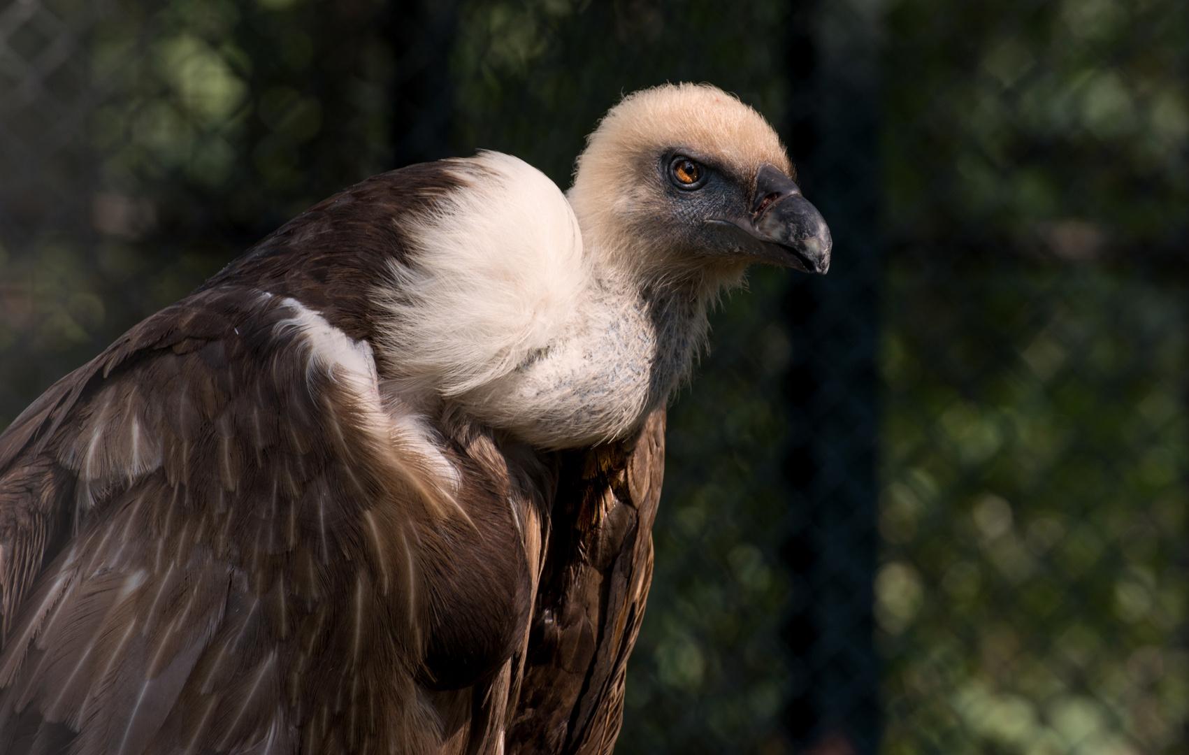 Griffon Vulture - Gänsegeier