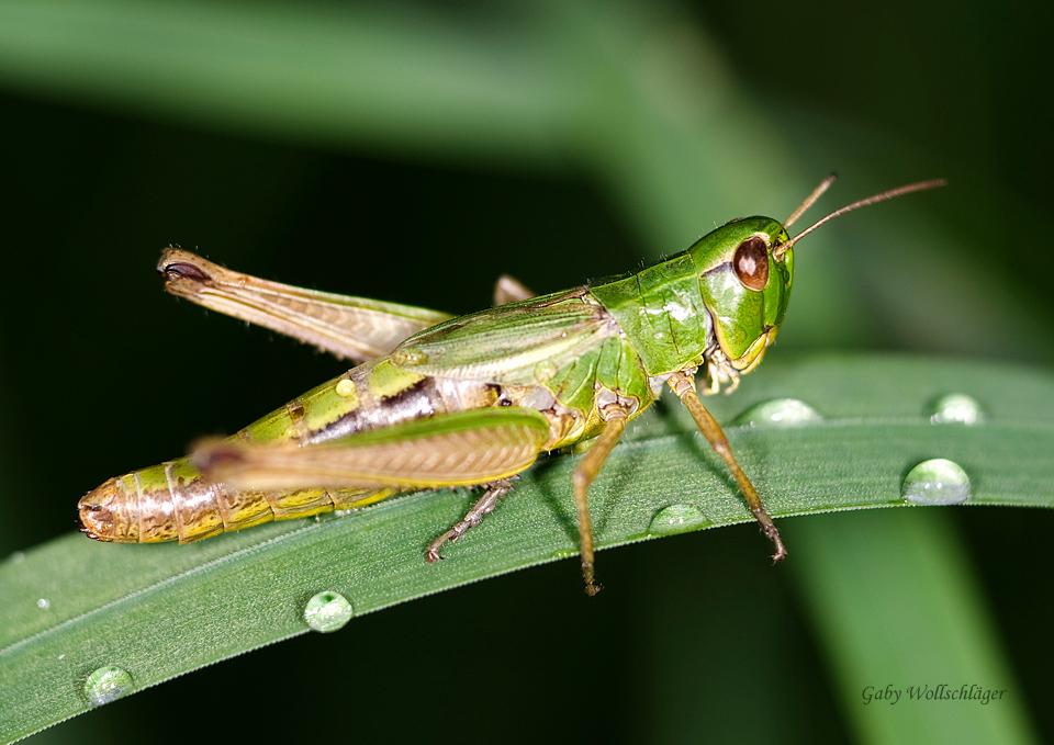 grillen foto bild tiere wildlife insekten bilder. Black Bedroom Furniture Sets. Home Design Ideas