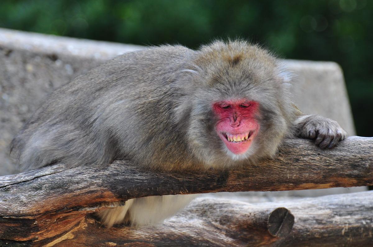 grinsender affe foto bild tiere zoo wildpark. Black Bedroom Furniture Sets. Home Design Ideas