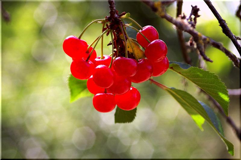 griottes du Berry