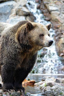Grizzli femelle
