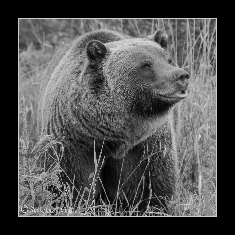 Grizzly Bär (Grizzly bear)