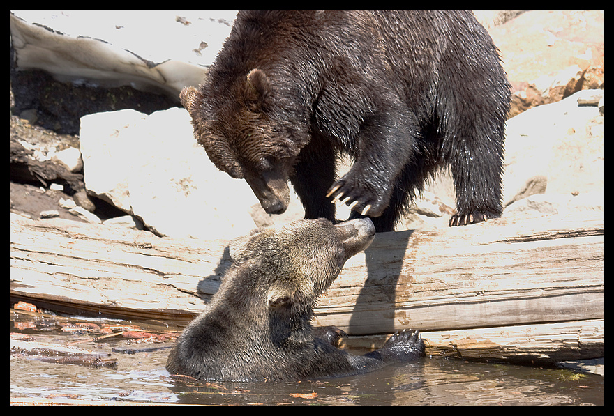 Grizzly-Bären beim Spielen