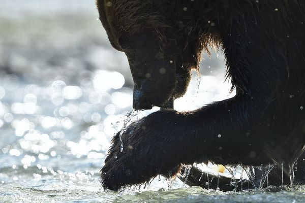 Grizzly Close-Up