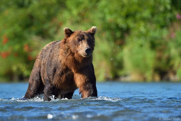 Grizzly im Fluß