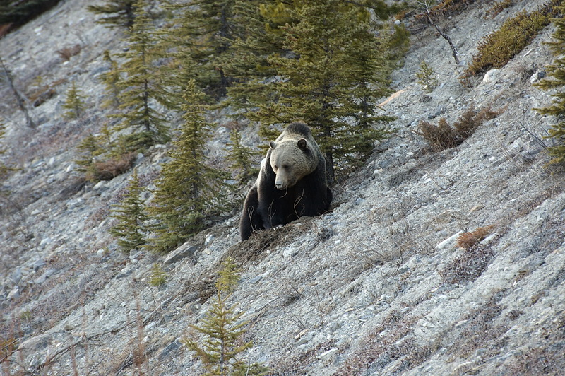 Grizzly im Jasper/Banff National Park, Alberta, Kanada