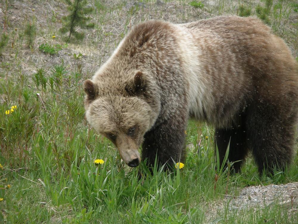 Grizzly in freier Wildbahn