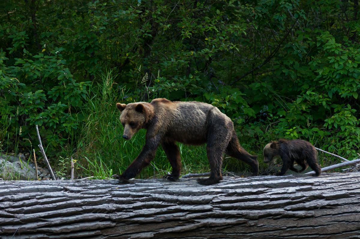 Grizzlymutter mit Nachwuchs ..