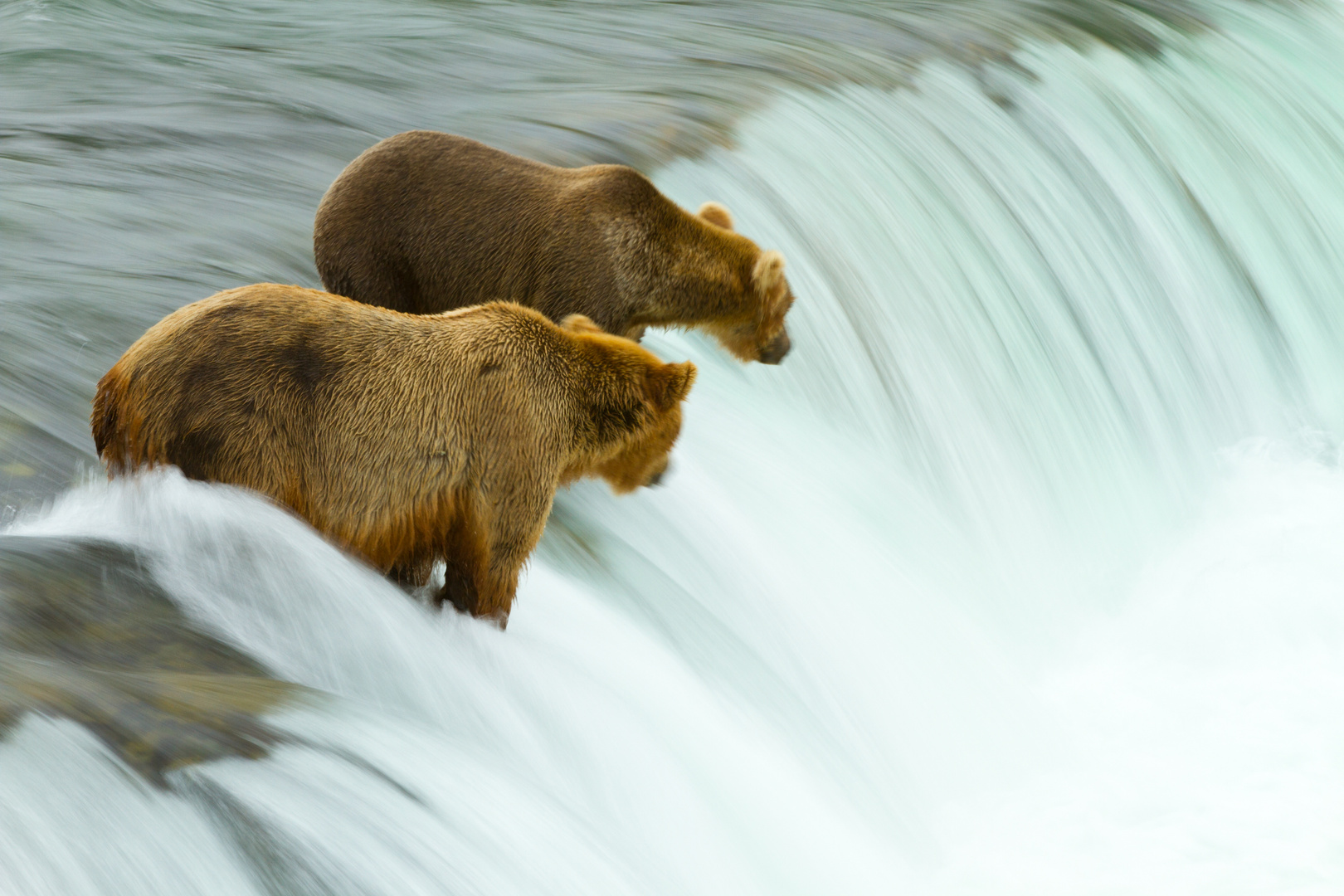 Grizzlys beim Lachsfang