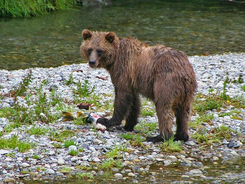Grizzly's breakfast