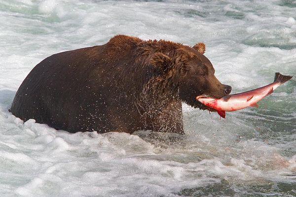 Grizzly´s Salmonsnack
