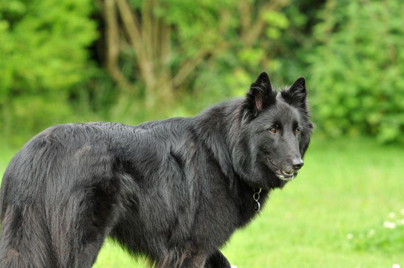 Groenendael (belgischer Schäferhund)
