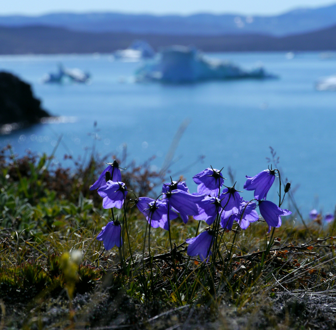 Grönländische Glockenblumen vor Eisbergen
