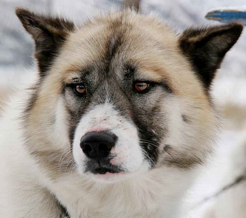 Grönland-Hund