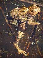 Größenvergleich: Ein Krötenpaar im Wasser