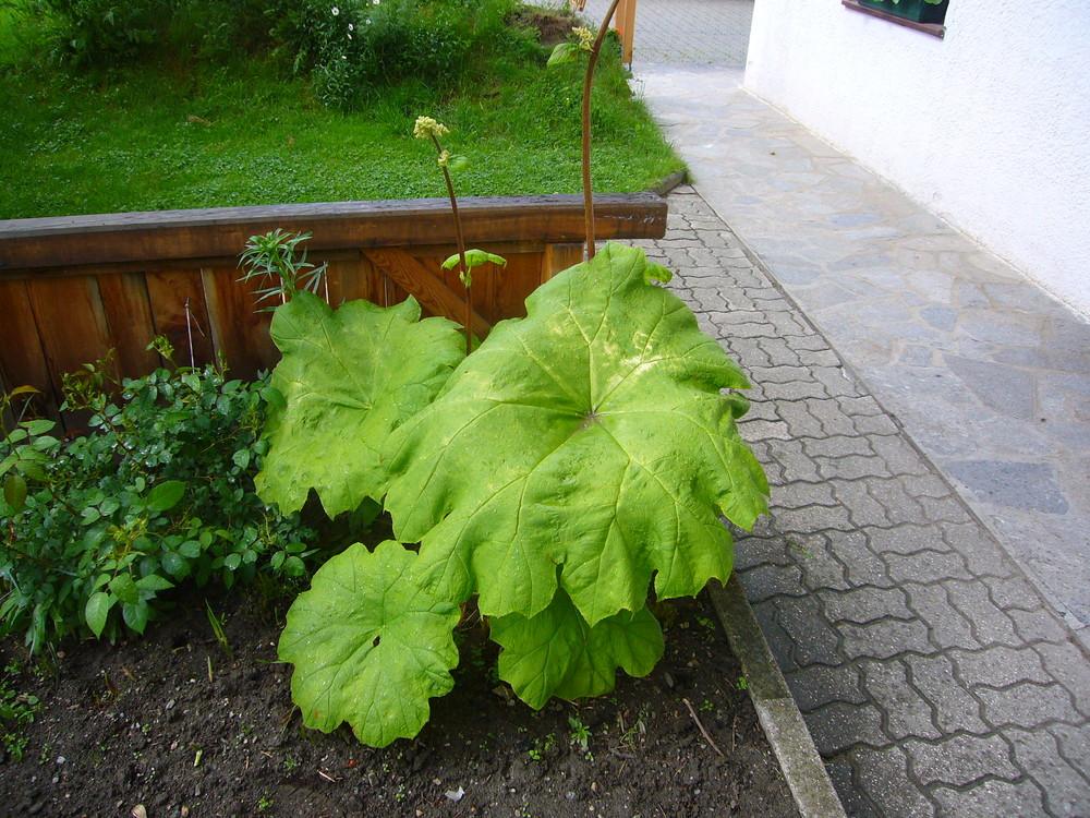 Grossblättrige Pflanze