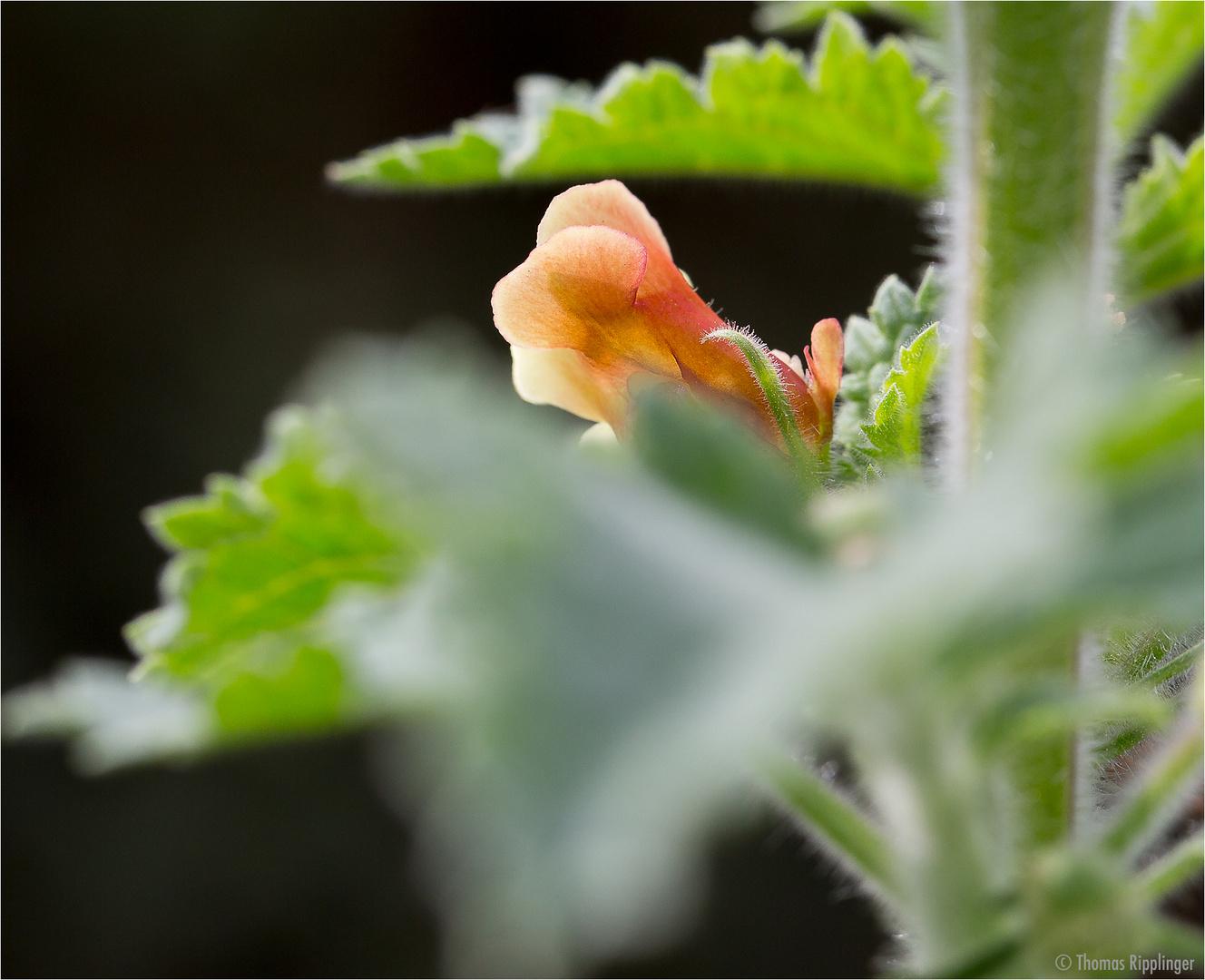 Großblütige Braunwurz (Scrophularia grandiflora).....