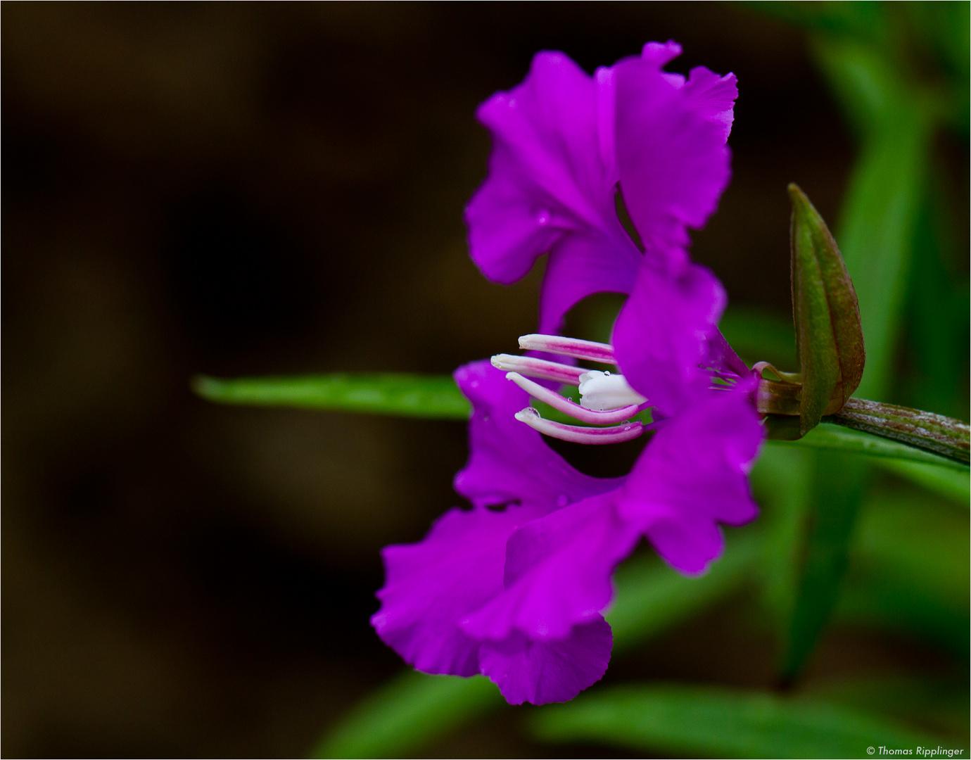 Grossblütige Godetie (Clarkia pulchella).