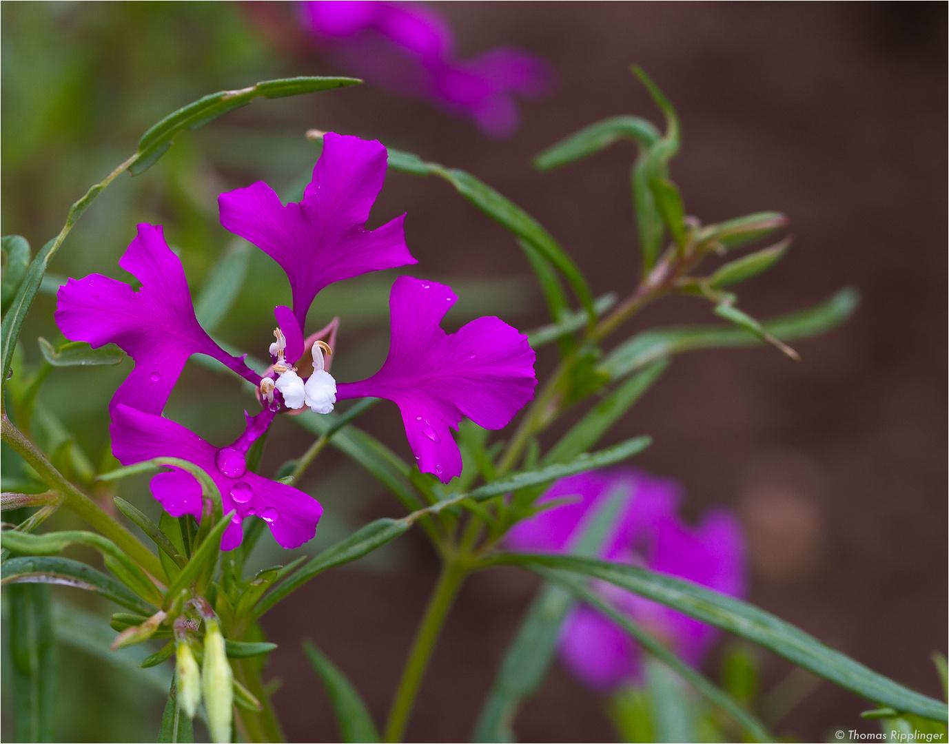 Grossblütige Godetie (Clarkia pulchella)