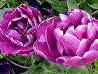 Großblumige gefüllte Tulpen