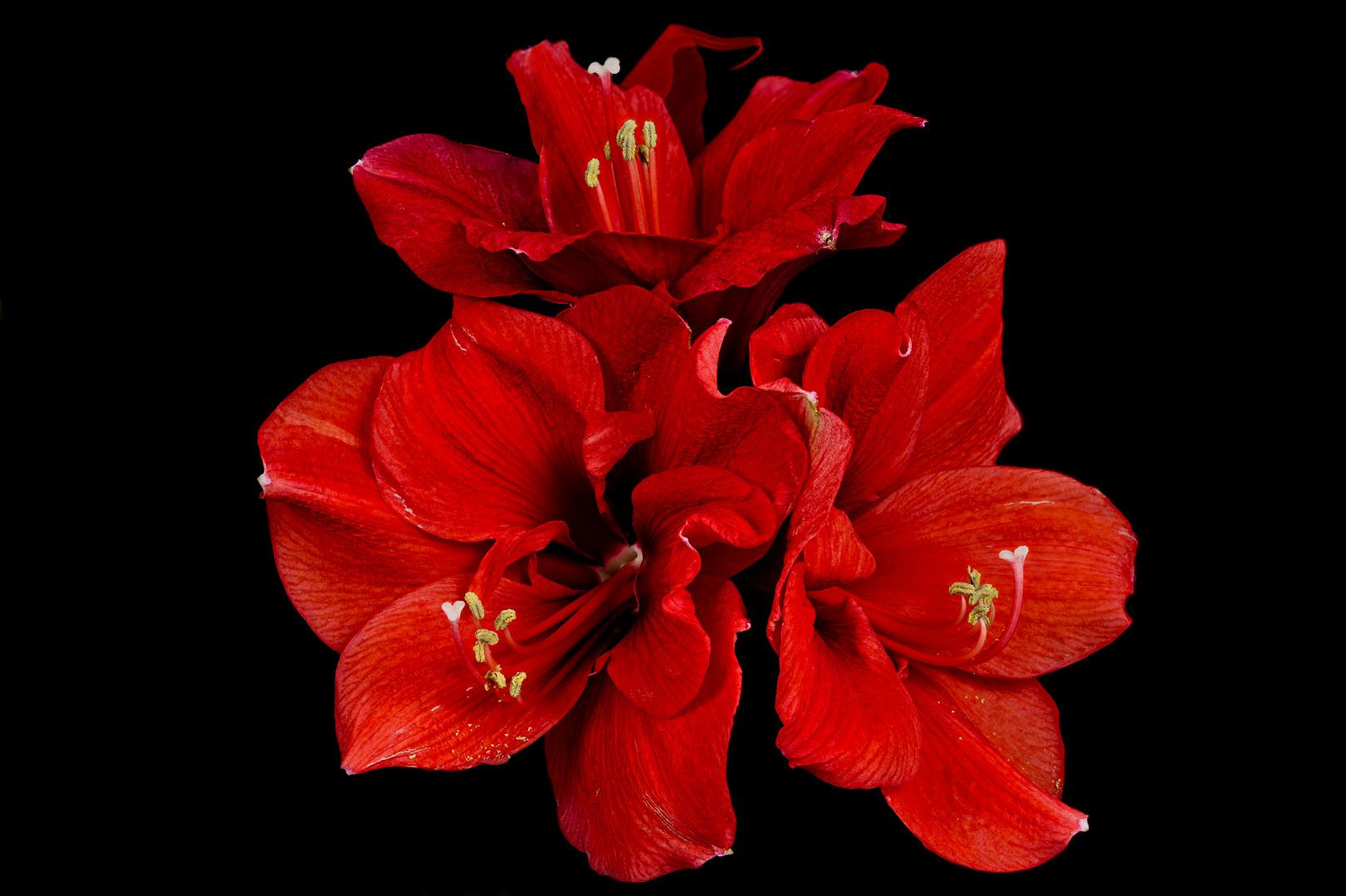 Große Amaryllis in schönster Blüte