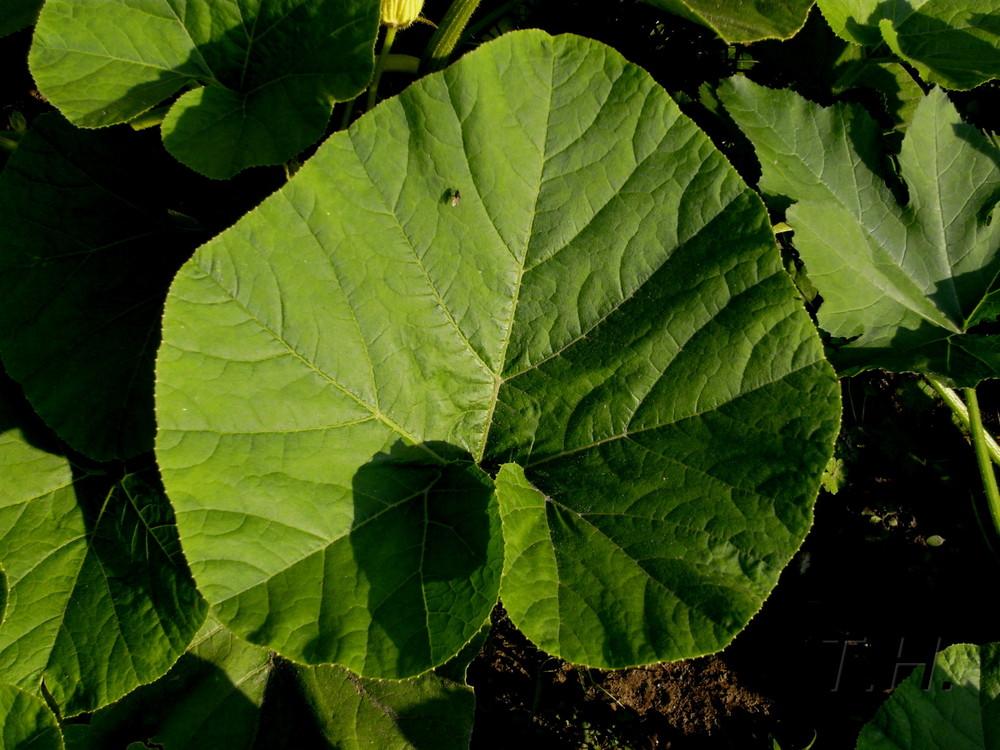 grosse blaetter foto bild pflanzen pilze flechten
