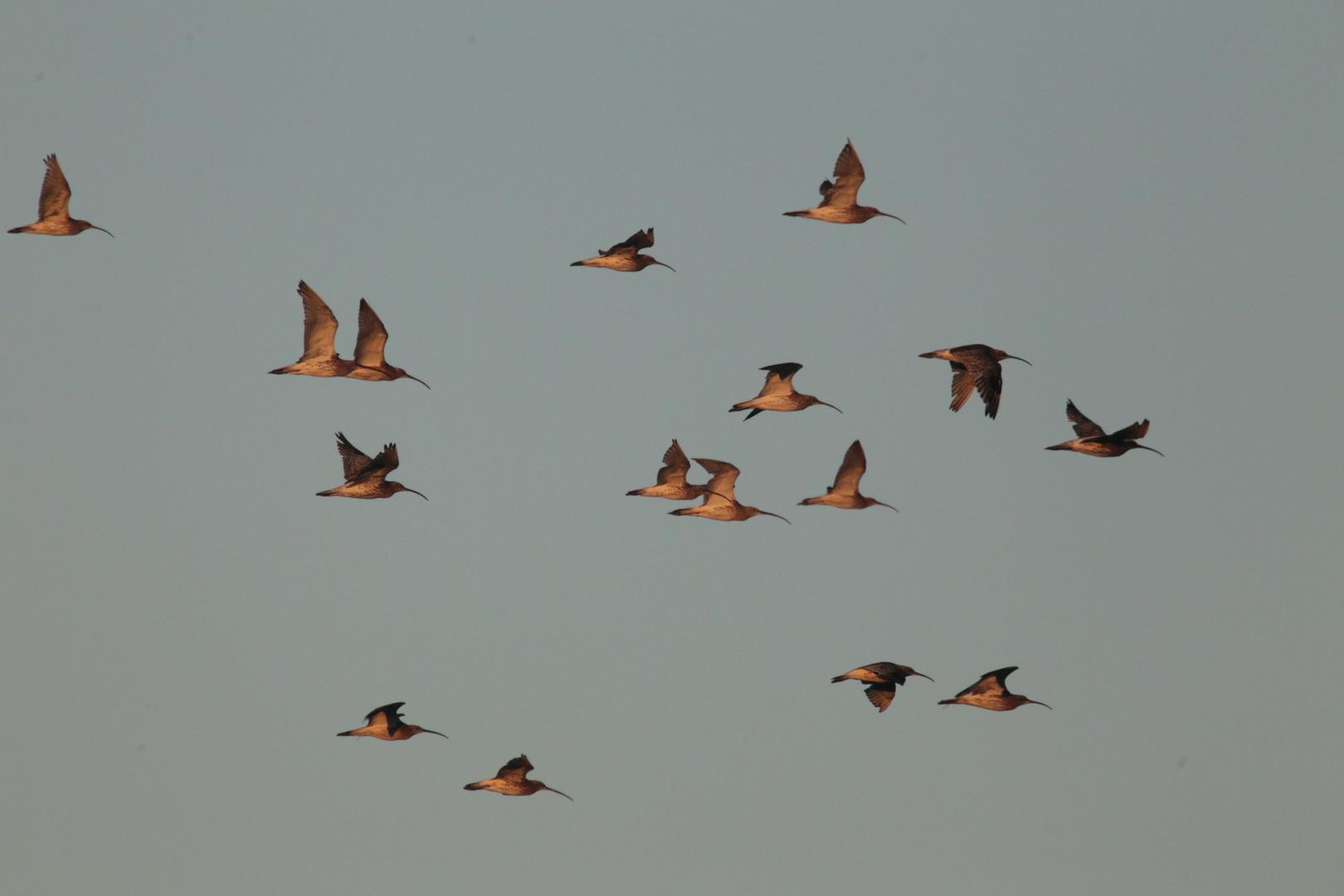 Grosse Brachvögel