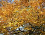 Große Buche im Herbstkleid
