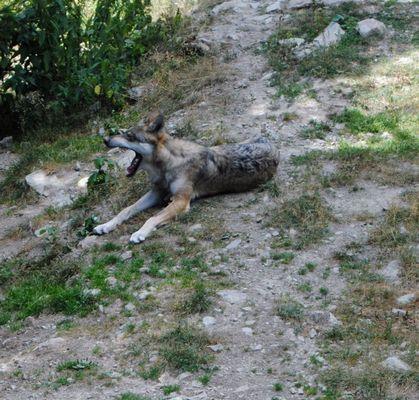 Grosse fatigue du loup
