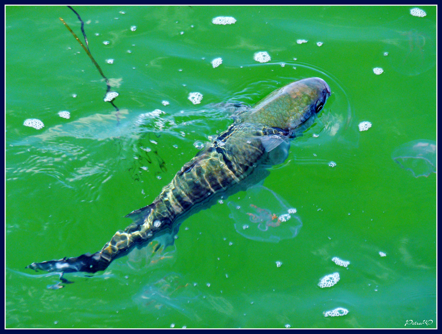 Große Fische an der Seebrücke in Boltenhagen