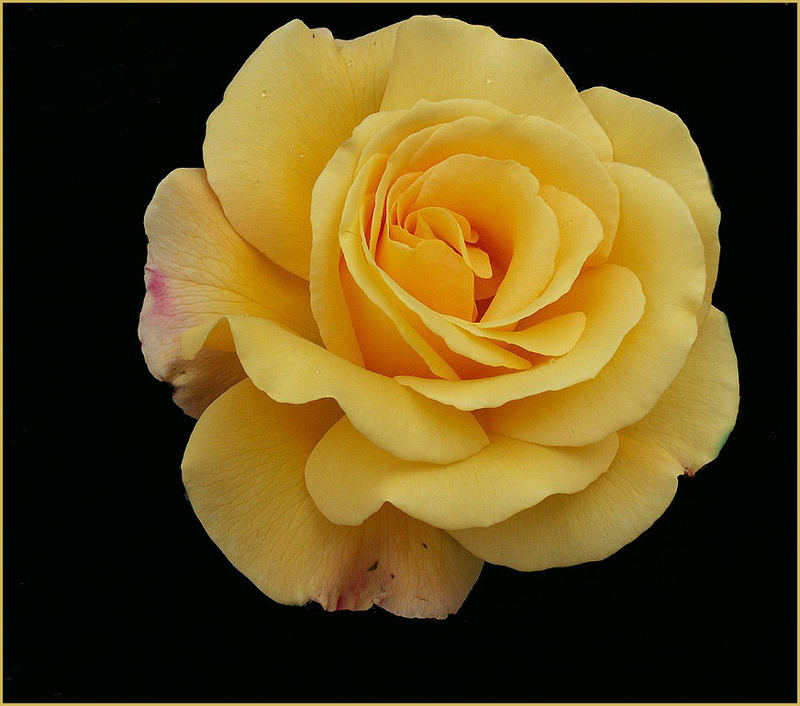 große gelbe Teerose