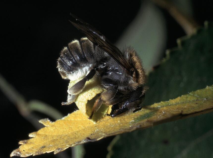 Große Harzbiene beim Blattschneiden