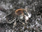 Große Harzbiene mit Harzklumpen