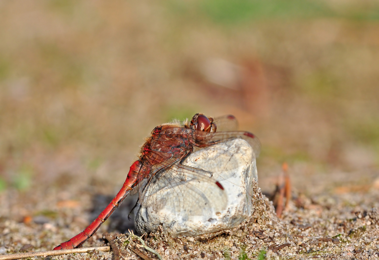 Große Heidelibelle Männchen #3