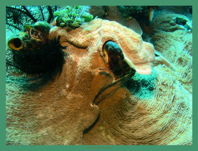 große Hornkoralle