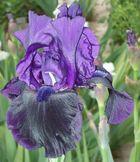 Große Iris aus meiner Sammlung