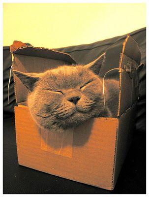 Große Katze in kleiner Schachtel