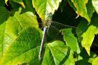 Große Königslibelle (Anax imperator) Weibchen