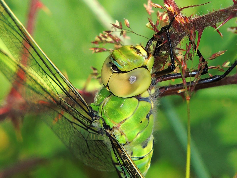 Große Königslibelle(Weibchen)