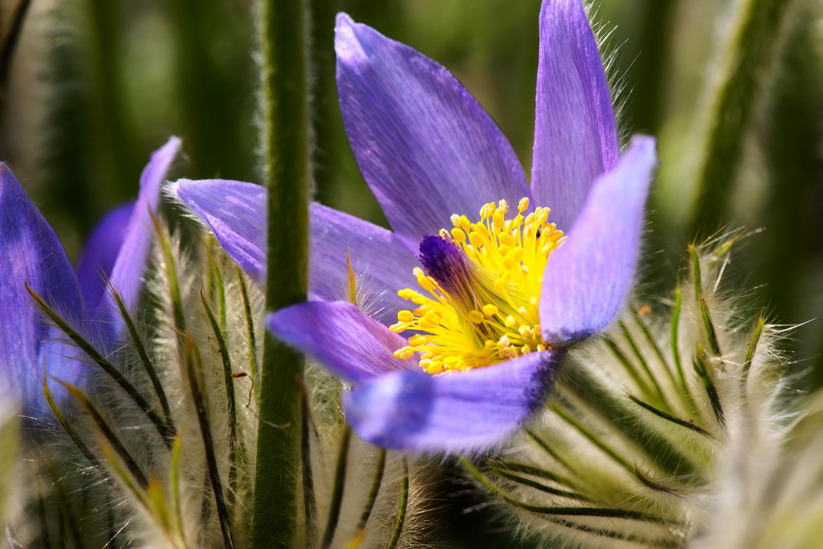Große Küchenschelle (Pasqueflower) III