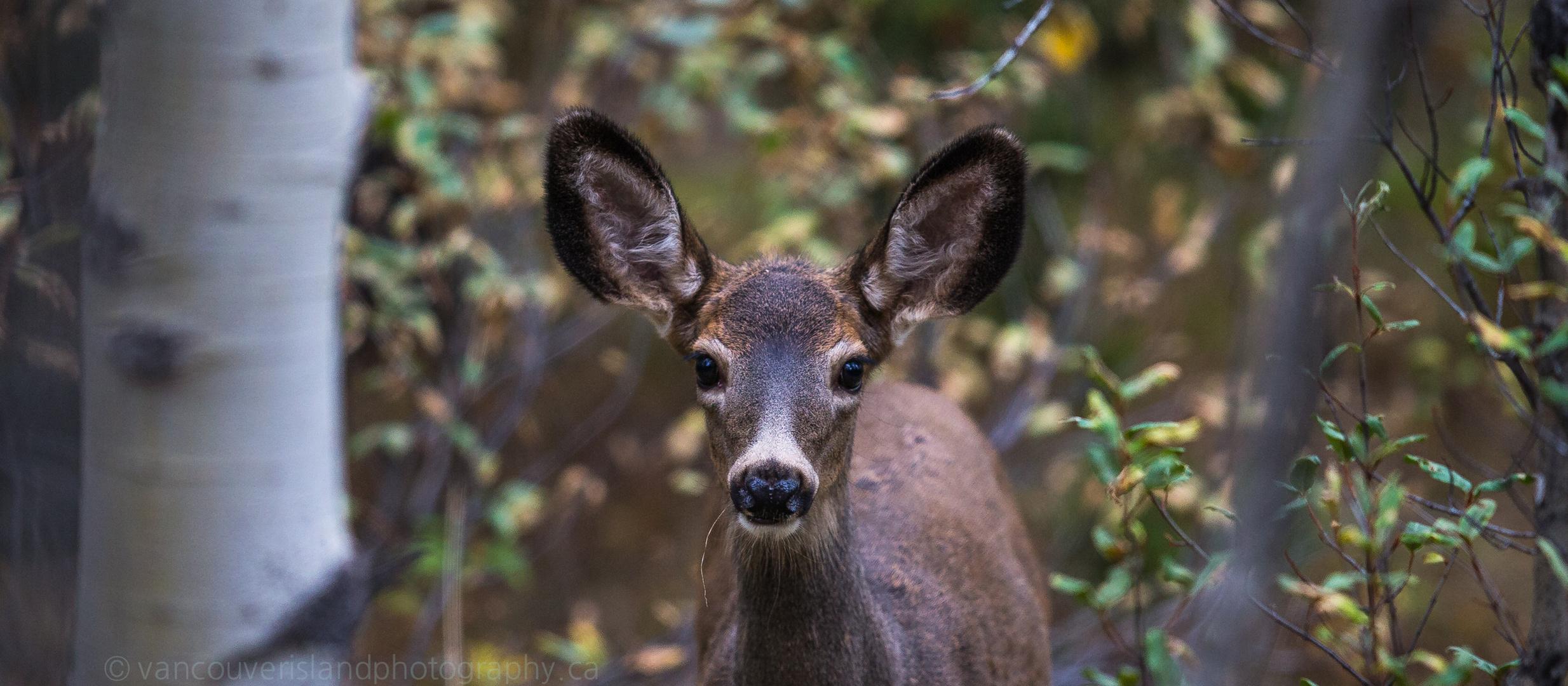 Grosse Ohren